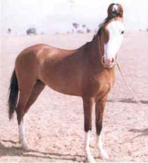 Kathiawari Horse A Gaited Breed | 300 x 331 jpeg 8kB