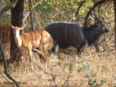Image: CopyrightHorseHints.org/Male and female kudu