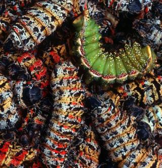 Image: Mopane Worms/Africa