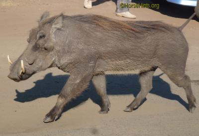 Image: CopyrightHorseHints.org/Common Warthog