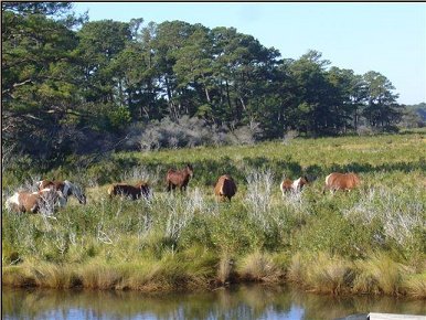 Assateague Wild Ponies/Copyright HorseHints.org