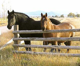 Draft Horse (left) compared to light riding horse. (right) Image by: Montanabw/GNU Free Documentation License.