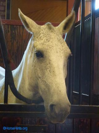A grayish caisson horse (they turn white as they age)