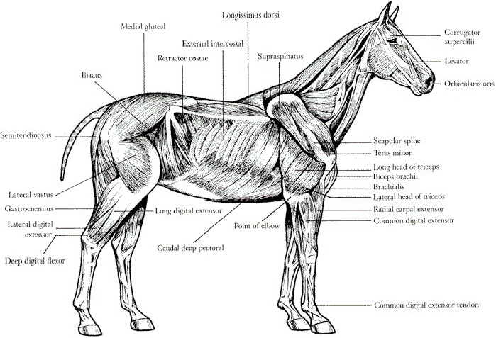 Horse Muscles and Their Use