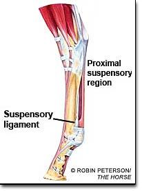 Suspensory Ligament Proximal